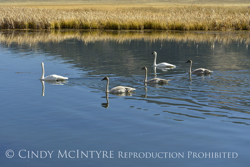 Trumpeter swan family, Jackson WY (2)