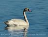 Trumpeter swan cygnet, Jackson WY (3)