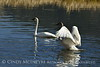 Trumpeter swan family, Jackson WY (10)