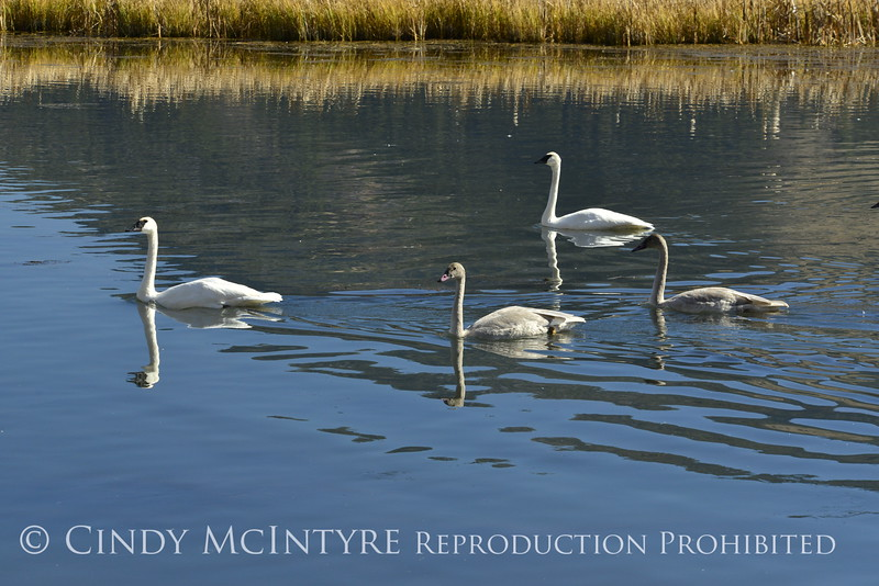 Trumpeter swan family, Jackson WY (1)