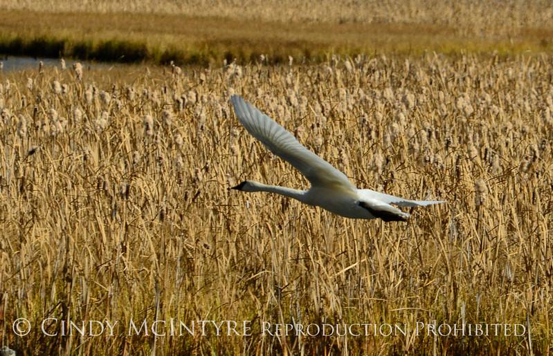 Trumpeter swan, Natl Elk Refuge, Jackson WY (21)