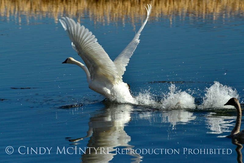 Trumpeter swan taking flight, Jackson WY