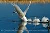Trumpeter swan taking flight, Jackson WY