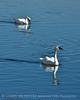 Trumpeter swan, Natl Elk Refuge, Jackson WY (15)