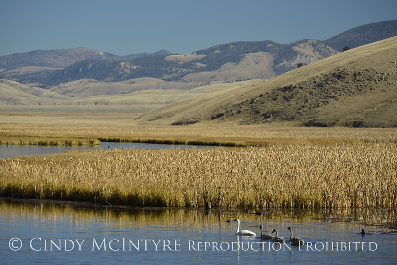 Trumpeter swan family, Jackson WY (20)