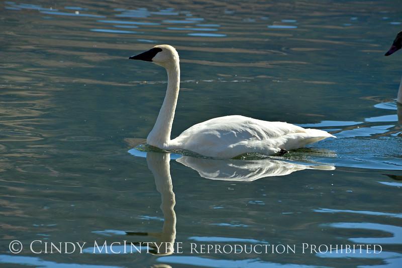 Trumpeter swan, Natl Elk Refuge, Jackson WY (5)