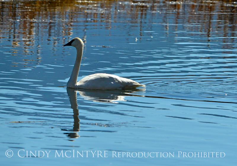Trumpeter swan cygnet, Jackson WY (1)