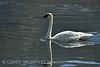 Trumpeter swan, Natl Elk Refuge, Jackson WY (6)