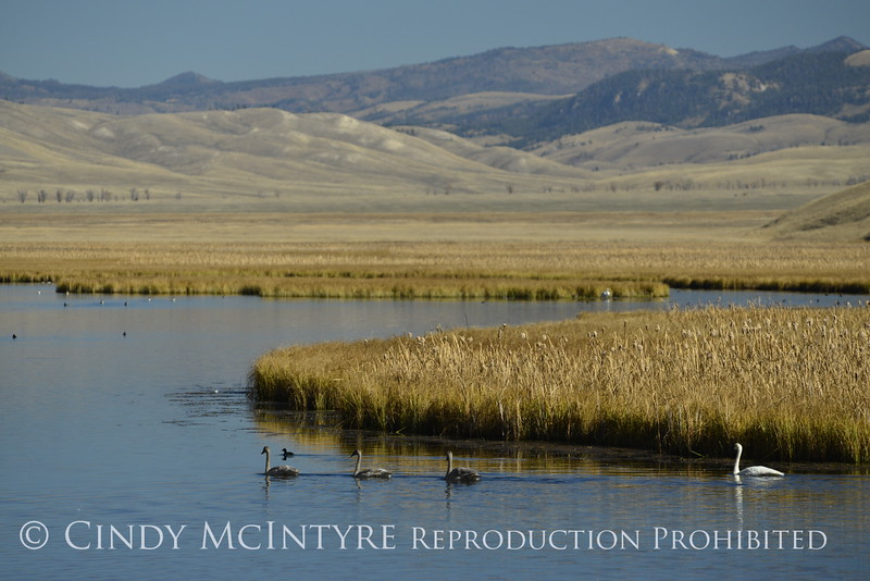 Trumpeter swan family, Jackson WY (22)