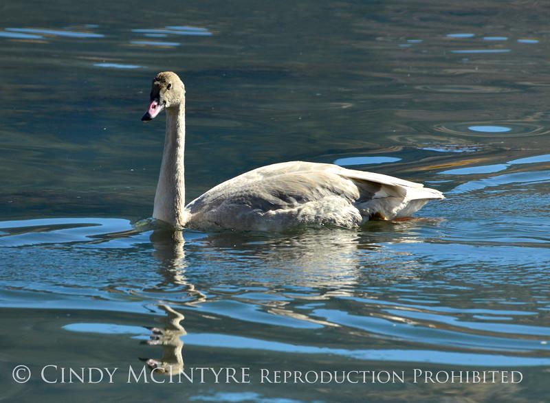 Trumpeter swan, Natl Elk Refuge, Jackson WY (14)