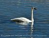 Trumpeter swan, Natl Elk Refuge, Jackson WY (20)