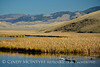 Trumpeter Swan Family, Natl Elk Refuge, WY