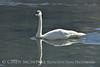 Trumpeter swan, Natl Elk Refuge, Jackson WY (11)
