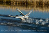 Trumpeter swan cygnets taking flight, Jackson WY