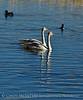 Trumpeter swan cygnet, Jackson WY (4)