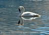 Trumpeter swan, Natl Elk Refuge, Jackson WY (3)