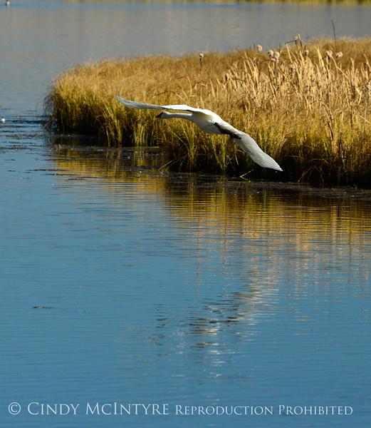 Trumpeter swan, Natl Elk Refuge, Jackson WY (23)