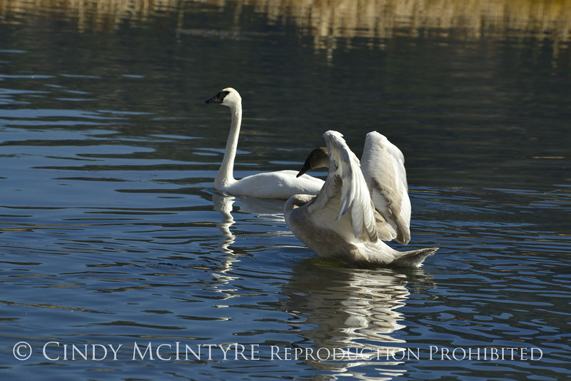 Trumpeter swan family, Jackson WY (5)
