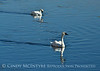 Trumpeter swan family, Jackson WY (16)