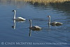 Trumpeter swan family, Jackson WY (4)