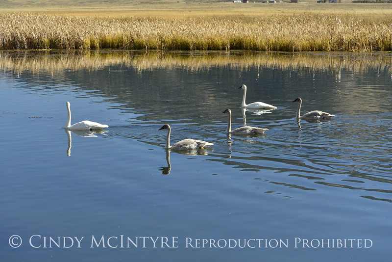 Trumpeter swan family, Jackson WY (3)