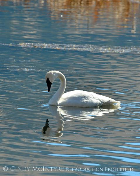 Trumpeter swan, Natl Elk Refuge, Jackson WY (4)