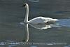 Trumpeter swan, Natl Elk Refuge, Jackson WY (12)