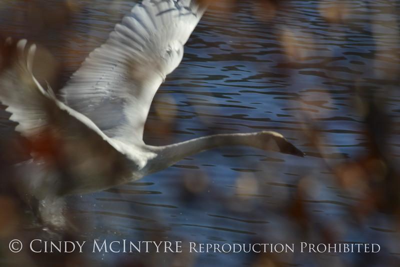 Trumpeter swan, Natl Elk Refuge, Jackson WY (17)