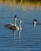 Trumpeter swan cygnet, Jackson WY (5)