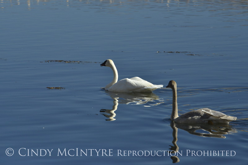 Trumpeter swan family, Jackson WY (14)