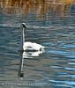 Trumpeter swan, Natl Elk Refuge, Jackson WY (2)