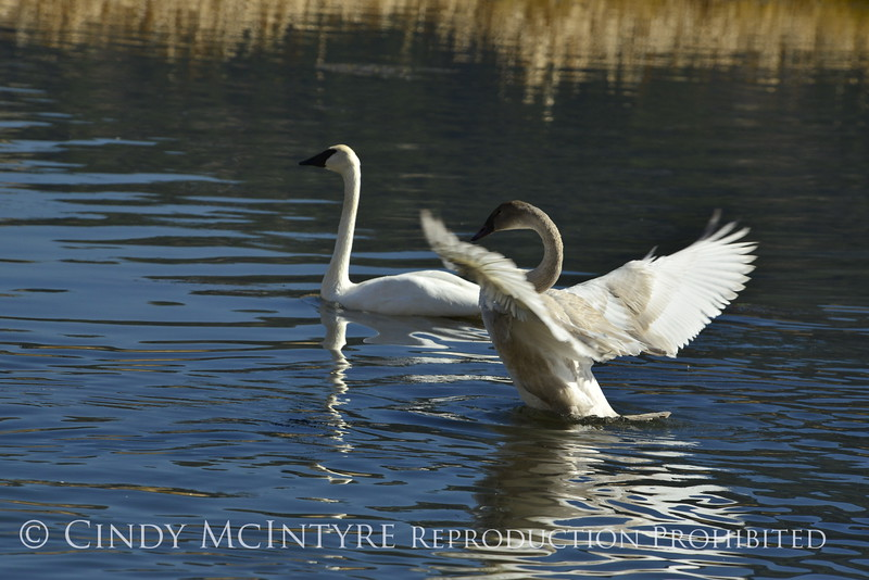 Trumpeter swan family, Jackson WY (7)