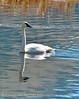 Trumpeter swan, Natl Elk Refuge, Jackson WY (1)