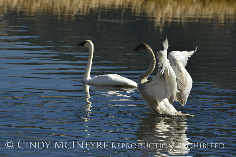 Trumpeter swan family, Jackson WY (9)