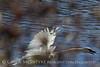 Trumpeter swan, Natl Elk Refuge, Jackson WY (18)