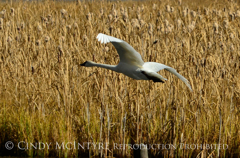 Trumpeter swan, Natl Elk Refuge, Jackson WY (22)