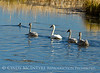 Trumpeter swan family, Jackson WY (18)