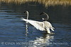 Trumpeter swan family, Jackson WY (8)