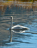 Trumpeter swan cygnet, Jackson WY (2)