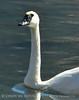Trumpeter swan, Natl Elk Refuge, Jackson WY (9)