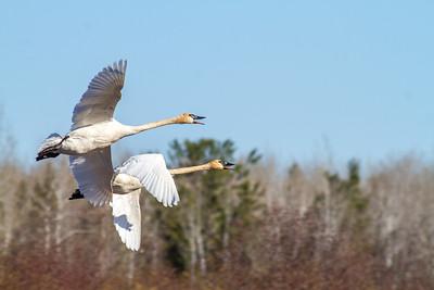 Trumpeter Swan pair Tobin-Kimmes Wetlands Gordon MacQuarrie Wetlands-5834