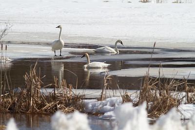 Trumpeter Swan Stone Lake Sax-Zim Bog MN -2774