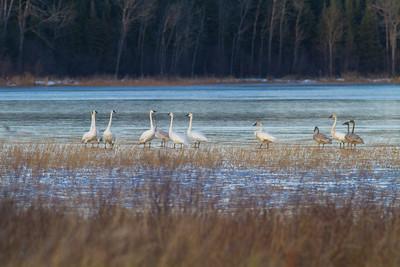 Trumpeter Swans Stone Lake Road Sax-Zim Bog MNIMG_0464