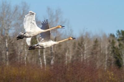 Trumpeter Swan pair Tobin-Kimmes Wetlands Gordon MacQuarrie Wetlands-5833