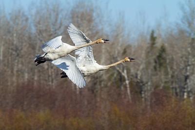 Trumpeter Swan pair Tobin-Kimmes Wetlands Gordon MacQuarrie Wetlands-5832