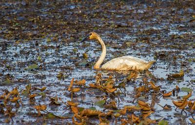 Trumpeter Swan feeding Crex Meadows Grantsburg WIIMG_3639