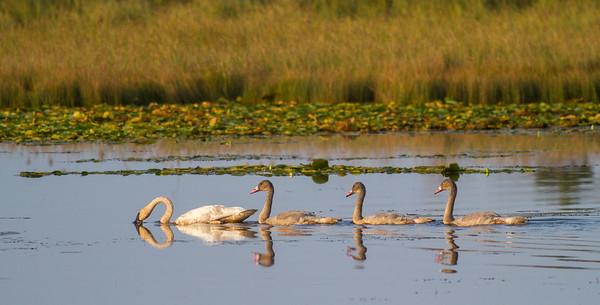 Trumpeter Swan family Crex Meadows Grantsburg WIIMG_3831