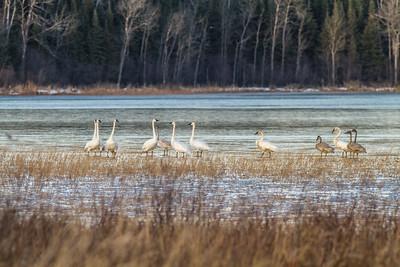 Trumpeter Swans Stone Lake Road Sax-Zim Bog MN IMG_0465
