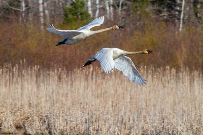 Trumpeter Swan pair Tobin-Kimmes Wetlands Gordon MacQuarrie Wetlands-5828