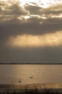 Trumpeter Swan pair God light North Ottawa Impoundment Grant County MN  IMG_3960